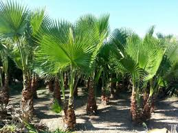 import export valencia palm trees for sale great opportunity for
