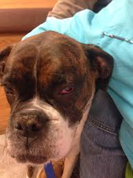 boxer dog 2015 diary diary of a real life veterinarian gerty u0027s indolent ulcer