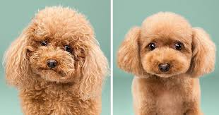 different styles of hair cuts for poodles dogs before and after their haircuts 16 pics bored panda