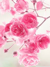 roses flowers wallpapers madrat co
