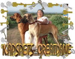 american pitbull terrier in bangalore kapspets aaa kapspets great dane for sale