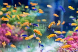 ornamental fish tank stock photos royalty free ornamental fish