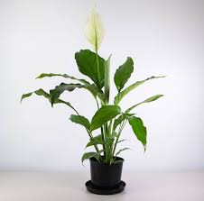 Peace Lily No Ordinary Peace Lily Large Tropical Leaves Plantandpot Nz
