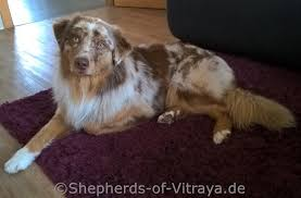 gewicht australian shepherd 7 monate toruk u2013 shepherds of vitraya