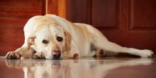 comment empecher mon chien de monter sur le canapé comment éviter que mon chien s ennuie jouets d occupation