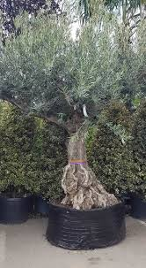 olive trees in planters would to to learn how to do this