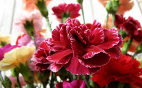 an explosion of scented petals carnation scents part i u2013 the