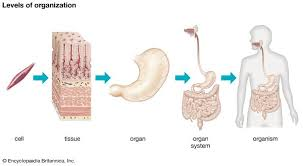 struktur anatomi penis extra pembesar penis pinterest