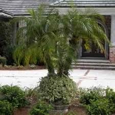 buy pygmy date palm palm trees pygmy palm tree sale find pygmy