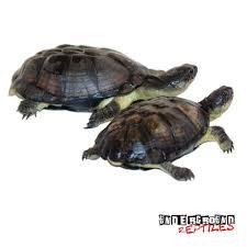 Tortoise Bedding Russian Tortoises For Sale Underground Reptiles