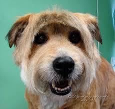 pet grooming good bad u0026 furry terrier mix what