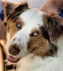 w lazy j australian shepherds australian shepherd with geometrically split eye colors