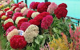 cockscomb flower cockscomb seeds celosia mix velvet touch heirloom 25 flower