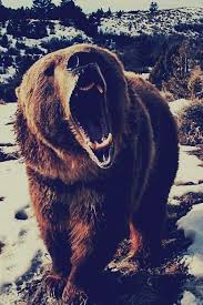 Ozzy The Grizzly Bear Picks The Eagles To Win The Super Bowl Local - oso pardo animales pinterest wild animals bears and animal