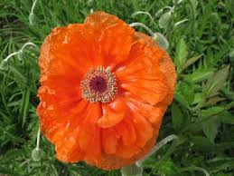 brings ornamental poppies to the perennial gardens