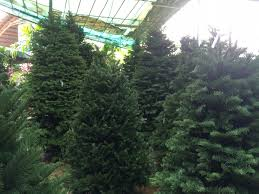 christmas trees for sale live christmas trees for sale fishwolfeboro