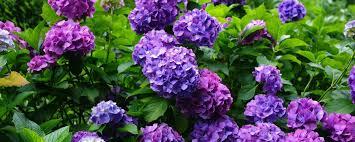 lilac bush varieties wallpaper