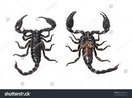 emperor scorpion anatomy images learn human anatomy image