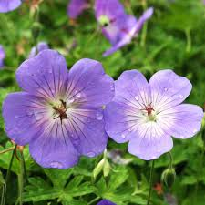 buy geranium rozanne j parker dutch bulbs