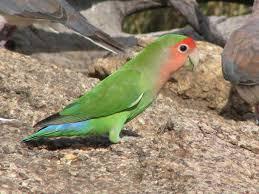rosy faced lovebird wikipedia