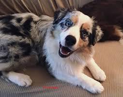 australian shepherd service dog thornapple australian shepherds home facebook