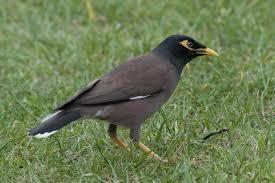 common myna new zealand birds online