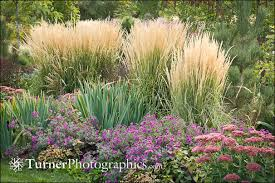 plant of the month karl foerster feather reed grass turner