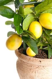 decorative lemon tree stock photo image of lemon tropical 37106868