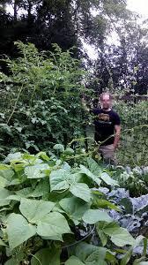 Vertical Garden Trellis - vertical gardening trellis for tomatos or squash 3 steps with
