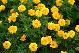 fresh perfect fall flowers to plant in garden 12092