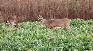 the best summer food plots mossy oak