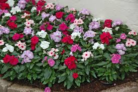 vinca flower buy vinca cora mix flower seeds online at best prices in india