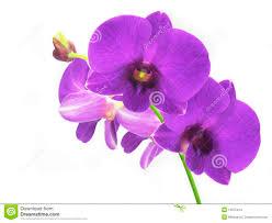 purple orchids purple orchids stock images image 12875414