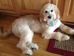 how to cut a goldendoodles hair goldendoodle haircut pictures goldendoodle haircuts bentley