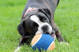 boxer dog mean fun facts about boxer dogs