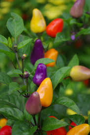 65 best chilli peppers images on pinterest bell pepper