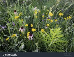 illinois native plants combination compass plant purple coneflower coreopsis stock photo