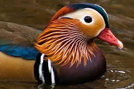 duck define ducks