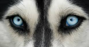Can Cataracts Lead To Blindness Why Do Dogs Go Blind Dogtime