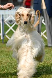 afghan hound judging list angelsun afghan hounds about us