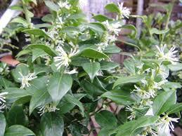White Flowering Shrub - in the garden best flowering shrubs for spring