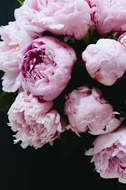 peonies flowers pink peonies fleur peony
