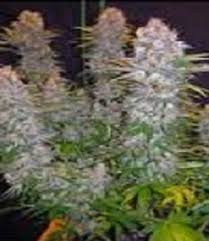 northern lights yield indoor northern lights feminised cannabis seeds