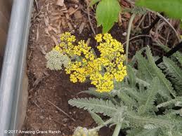 blackfoot native plants blackfoot daisy