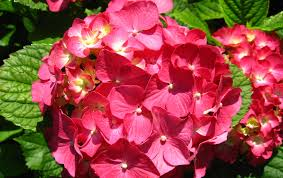 hydrangea hortensia flower wallpaper widescreen
