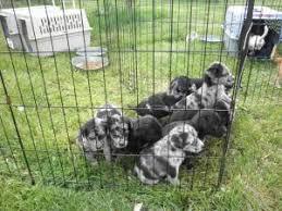 8 week old australian shepherd mix litter of aussie crosses is an adoptable australian cattle dog