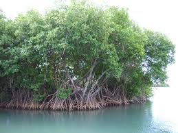 native plant nurseries melbourne mangroves photos of plants and animals smithsonian ocean portal