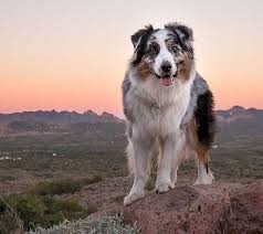 australian shepherd 8 months 17 best images about cute things on pinterest working dogs