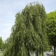 buy tristis weeping silver birch tree betula pendula tristis