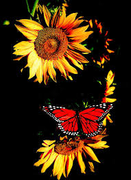 butterfly and sunflower photograph by steve mckinzie